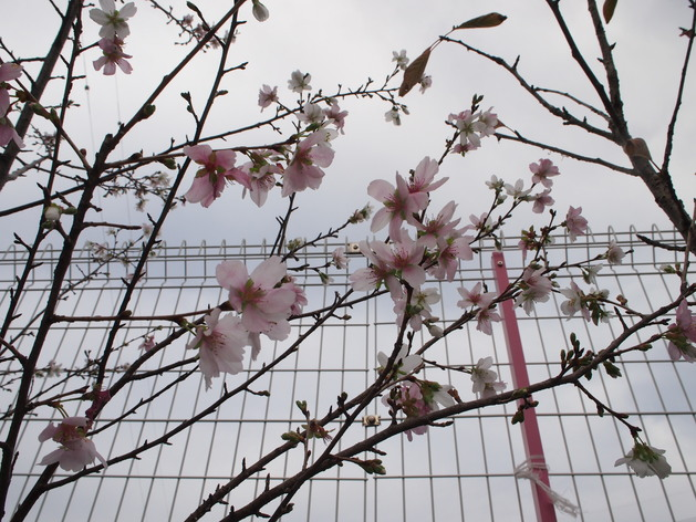 幼稚園ではお花見が!?_b0233868_17434489.jpg