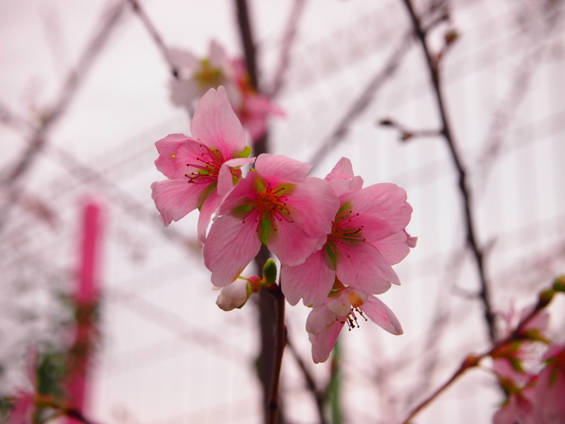幼稚園ではお花見が!?_b0233868_17435881.jpg