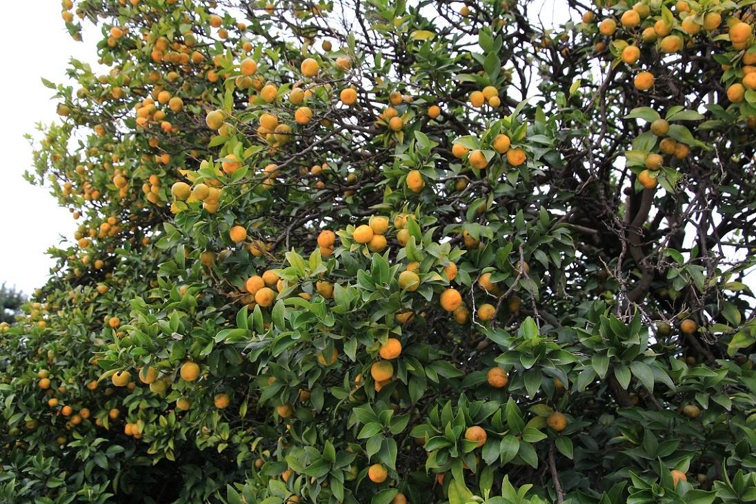 富士山が綺麗でした。~タチバナ(橘)の実~_a0107574_17360361.jpg