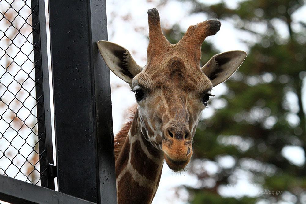 2015.11.15 宇都宮動物園☆キリンのリン【Giraffe】_f0250322_1954342.jpg