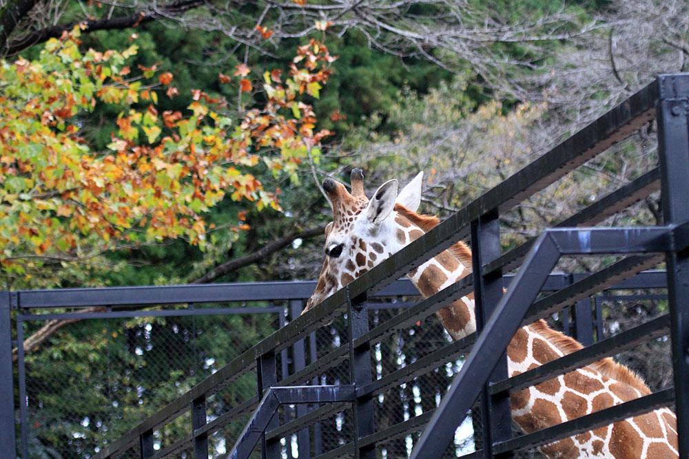 2015.11.15 宇都宮動物園☆キリンのリン【Giraffe】_f0250322_2010472.jpg