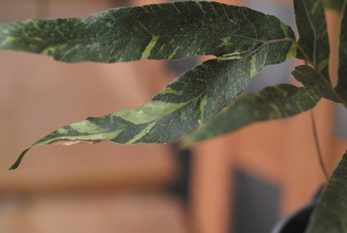 Drynaria sparcisora \'Variegatus\'_a0194582_13381340.jpg