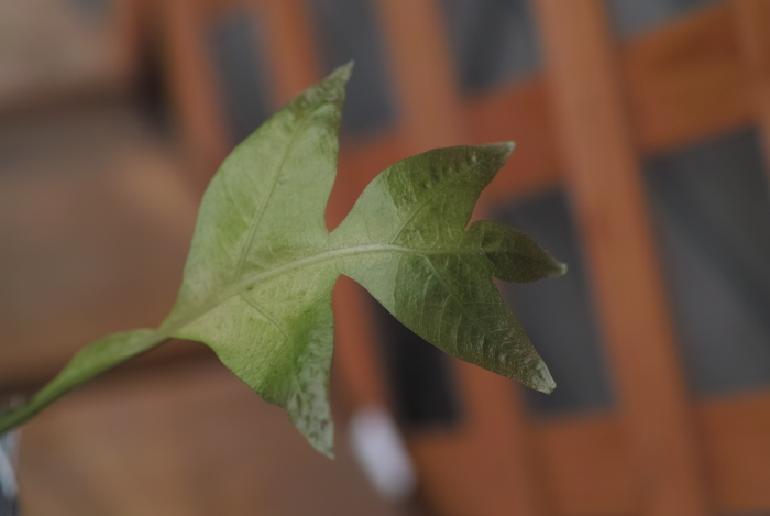 Drynaria sparcisora \'Variegatus\'_a0194582_13381498.jpg