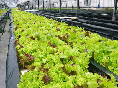 水耕栽培 ほうれん草、サラダレタス、水菜!収穫と出荷の様子を取材してきました!!_a0254656_16571350.jpg