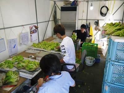 水耕栽培 ほうれん草、サラダレタス、水菜!収穫と出荷の様子を取材してきました!!_a0254656_1814983.jpg