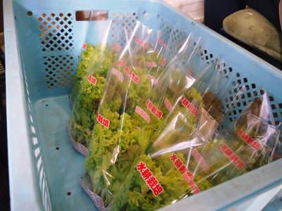 水耕栽培 ほうれん草、サラダレタス、水菜!収穫と出荷の様子を取材してきました!!_a0254656_18173272.jpg