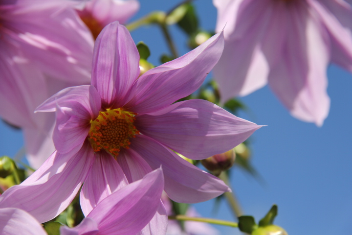 皇帝ダリアのお花見_b0207413_2215653.jpg