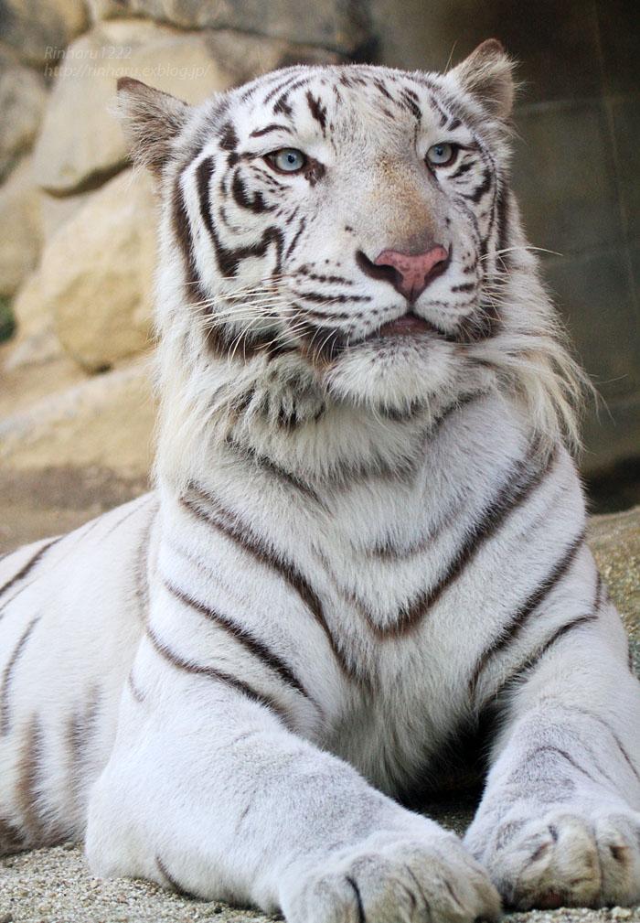 2015.9.22 東武動物公園☆ホワイトタイガーのスカイ兄ちゃん【White tiger】_f0250322_21182287.jpg