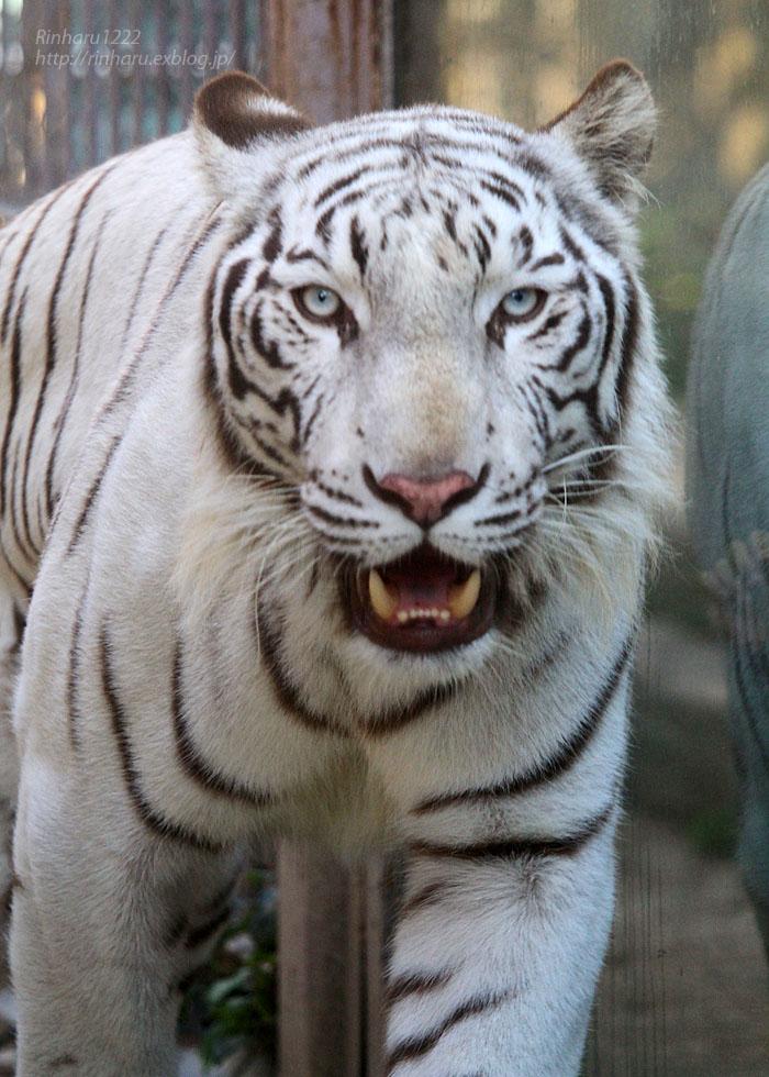 2015.9.22 東武動物公園☆ホワイトタイガーのスカイ兄ちゃん【White tiger】_f0250322_21183952.jpg