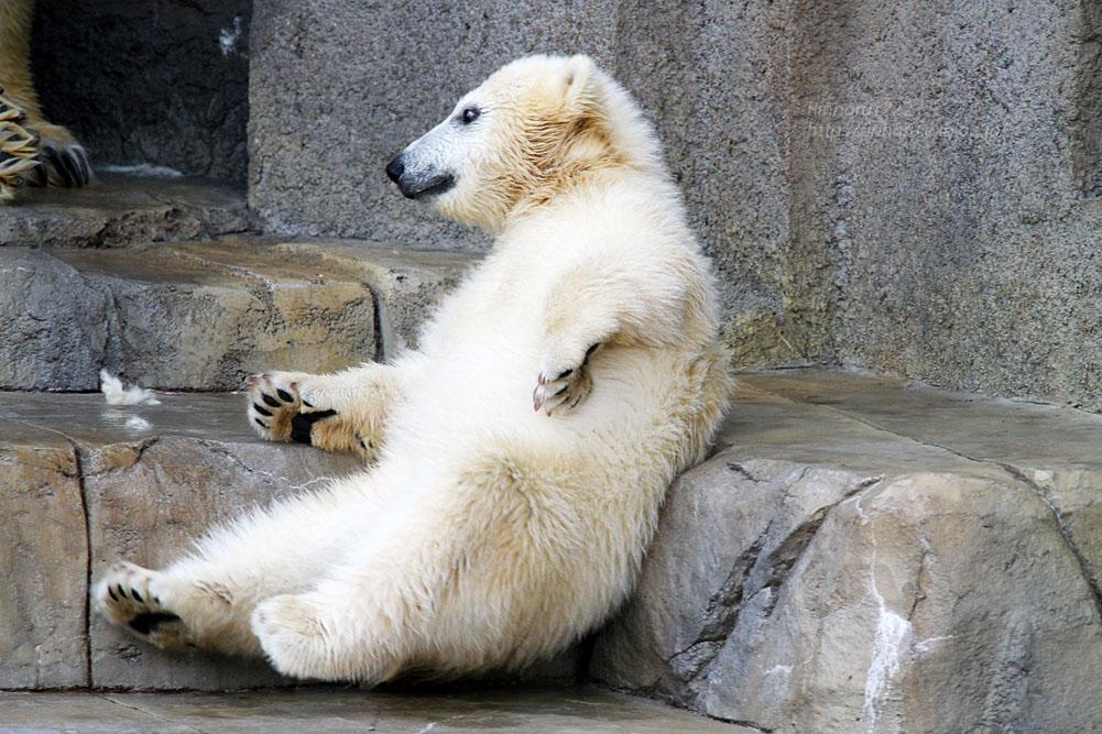 2015.4.30 円山動物園☆ホッキョクグマのララとリラ<その5>【Polar bear】_f0250322_22114268.jpg