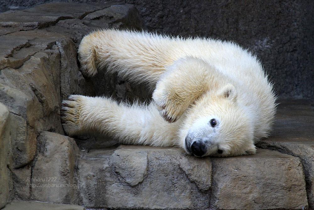 2015.4.30 円山動物園☆ホッキョクグマのララとリラ<その5>【Polar bear】_f0250322_22114590.jpg