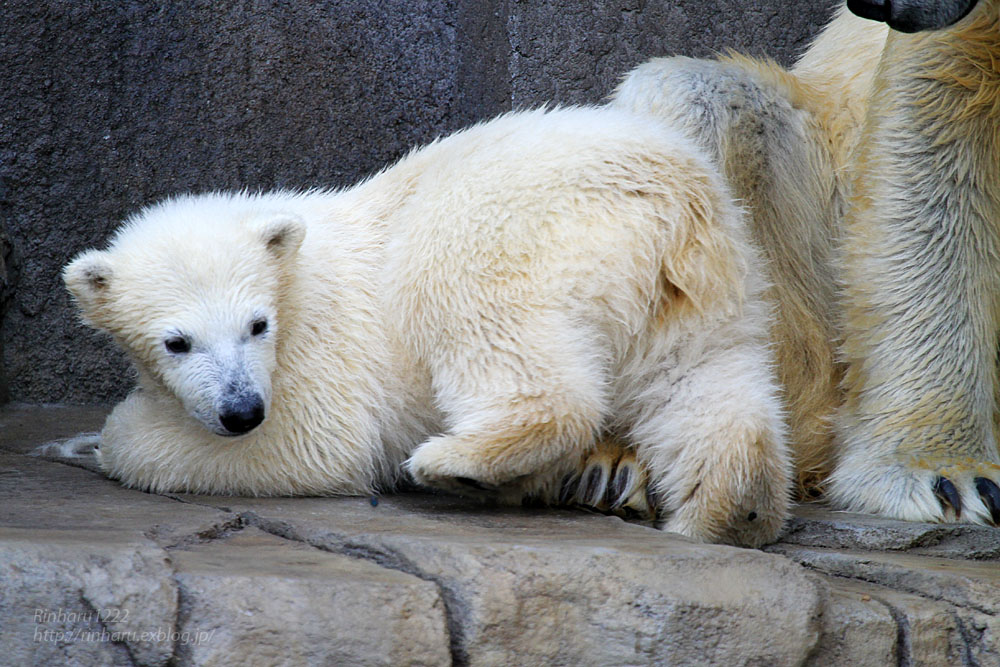 2015.4.30 円山動物園☆ホッキョクグマのララとリラ<その5>【Polar bear】_f0250322_22114960.jpg