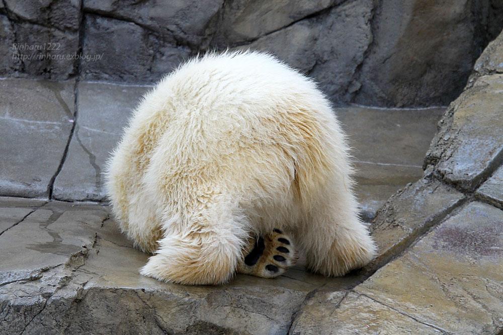 2015.4.30 円山動物園☆ホッキョクグマのララとリラ<その5>【Polar bear】_f0250322_22121638.jpg