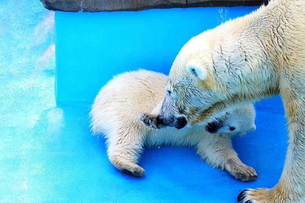 2015.4.30 円山動物園☆ホッキョクグマのララとリラ<その5>【Polar bear】_f0250322_22122872.jpg