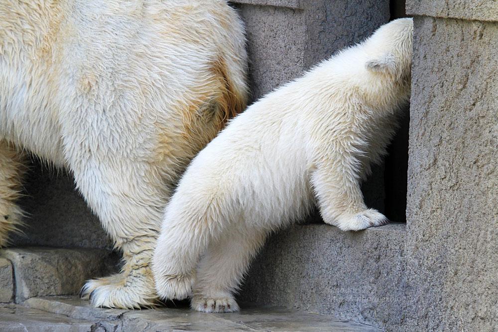 2015.4.30 円山動物園☆ホッキョクグマのララとリラ<その5>【Polar bear】_f0250322_2212651.jpg