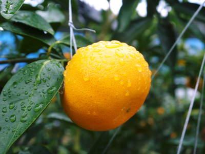究極の柑橘「せとか」 今年も順調に成長中!!これからビニールをはり最後の仕上げです!!_a0254656_17581747.jpg