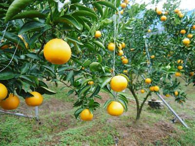 究極の柑橘「せとか」 今年も順調に成長中!!これからビニールをはり最後の仕上げです!!_a0254656_1815192.jpg