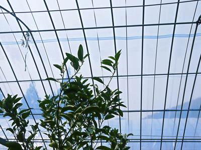 究極の柑橘「せとか」 今年も順調に成長中!!これからビニールをはり最後の仕上げです!!_a0254656_18172535.jpg