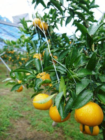 究極の柑橘「せとか」 今年も順調に成長中!!これからビニールをはり最後の仕上げです!!_a0254656_18313010.jpg