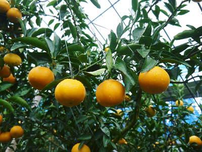 究極の柑橘「せとか」 今年も順調に成長中!!これからビニールをはり最後の仕上げです!!_a0254656_18352027.jpg