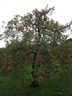 りんご狩り_e0008704_919644.jpg