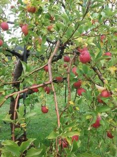 りんご狩り_e0008704_9261043.jpg