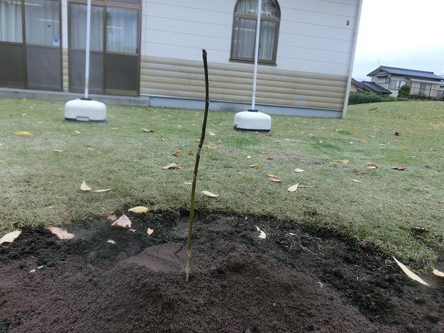 米の宮公園で被爆二世「アオギリ」の苗木の記念植樹_f0141310_720298.jpg