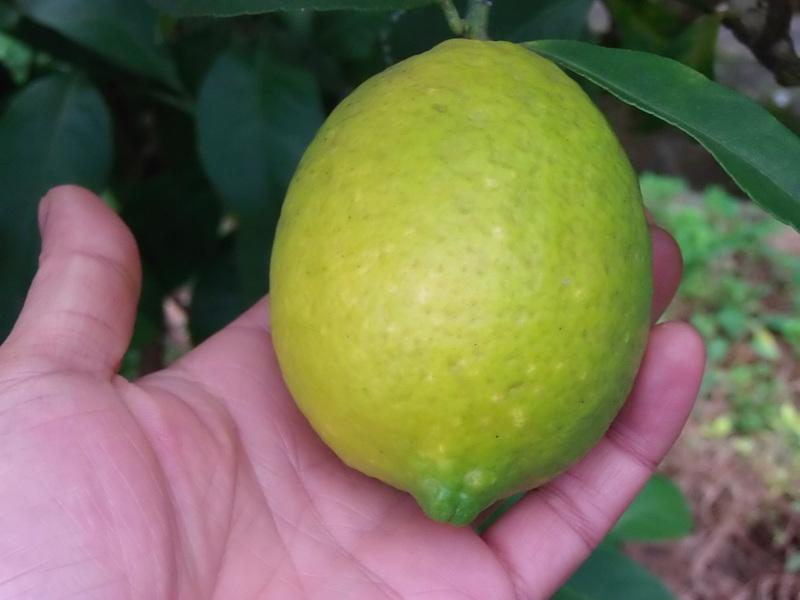 冬の「柑橘」の季節へ。_a0125419_07273935.jpg