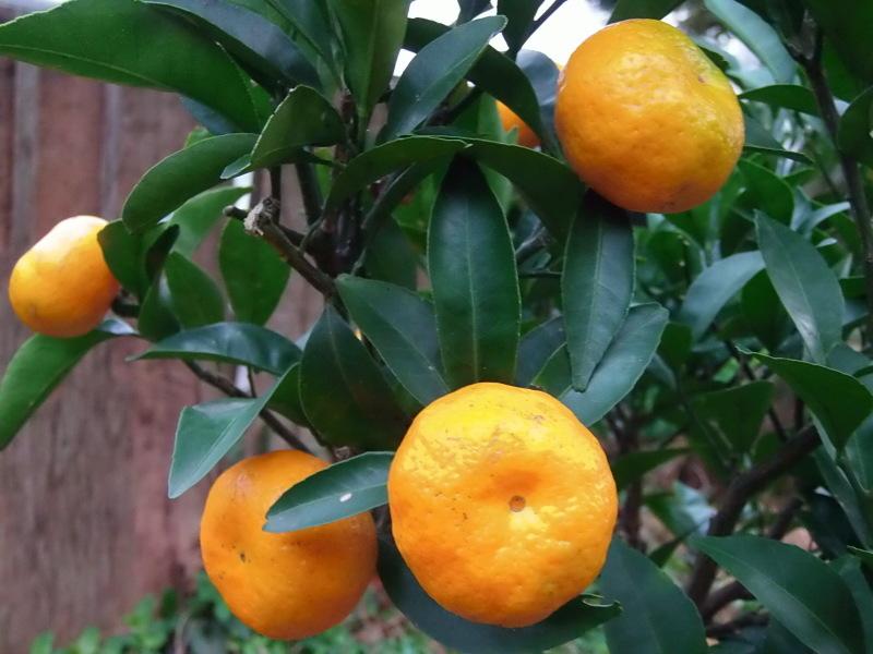 冬の「柑橘」の季節へ。_a0125419_07280384.jpg