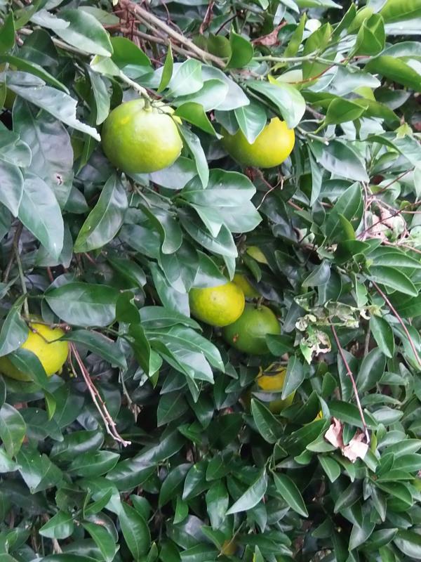 冬の「柑橘」の季節へ。_a0125419_07284466.jpg