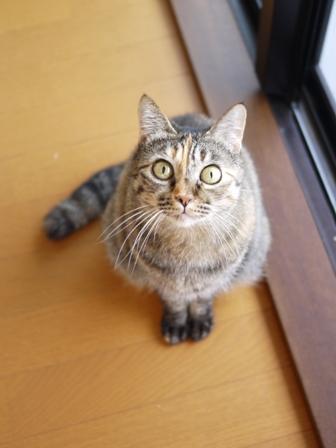 猫のお留守番 ワサビちゃん天ちゃんう京くん編。_a0143140_23333960.jpg