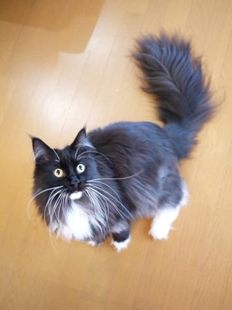 猫のお留守番 ワサビちゃん天ちゃんう京くん編。_a0143140_2334474.jpg