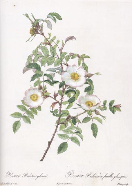 山梨県立美術館で開催中「花の画家 ルドゥーテのバラ」展 見どころ(4)_e0356356_18344822.jpg