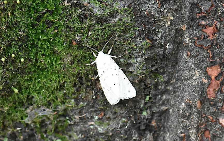 九月の蛾から、ホシヒメホウジャクの飛翔シーンほか(2015年11月21日) _d0303129_10495383.jpg