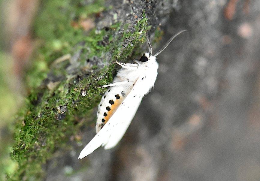 九月の蛾から、ホシヒメホウジャクの飛翔シーンほか(2015年11月21日) _d0303129_1050317.jpg