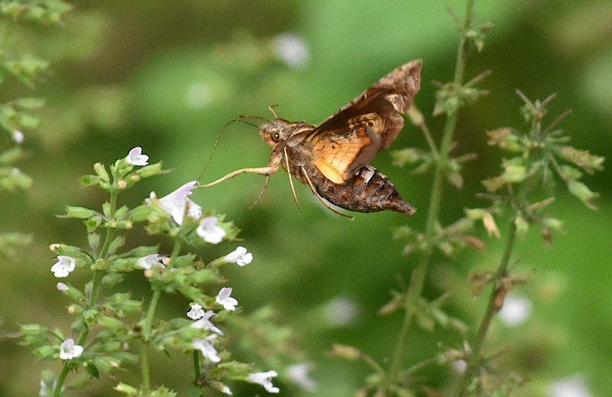 九月の蛾から、ホシヒメホウジャクの飛翔シーンほか(2015年11月21日) _d0303129_10505369.jpg