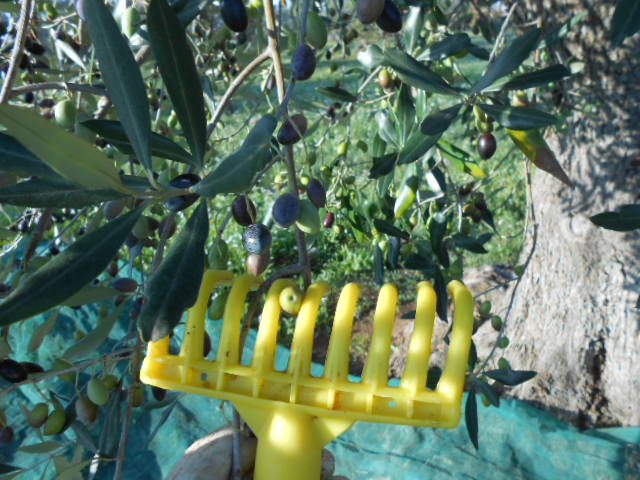 第2回目の収穫とオイルの感想_b0305039_6125811.jpg
