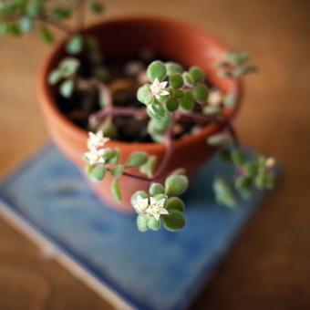 多肉植物の花_c0200002_1133650.jpg