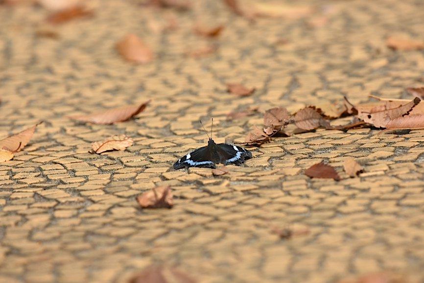 ムラサキシジミの開翅シーン(2015年11月22日) _d0303129_12341512.jpg