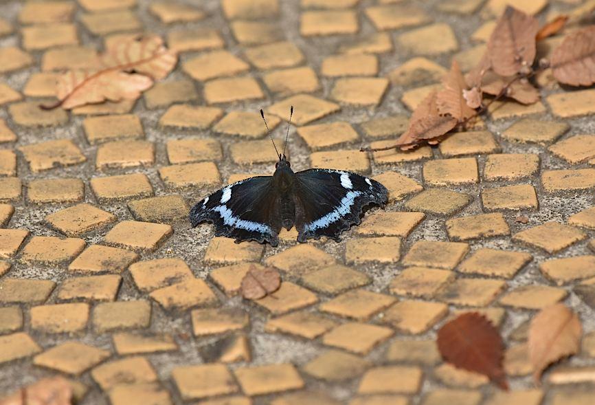 ムラサキシジミの開翅シーン(2015年11月22日) _d0303129_12342827.jpg