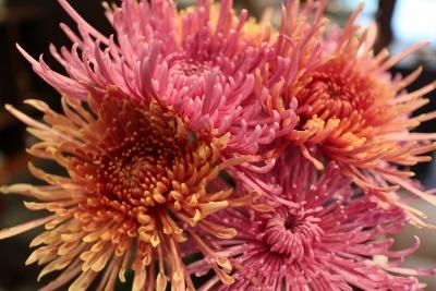 花だより 大輪の菊_a0279848_16510095.jpg