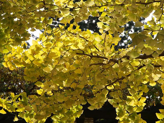 昭和記念公園の紅葉 (11/21)_b0006870_9261310.jpg
