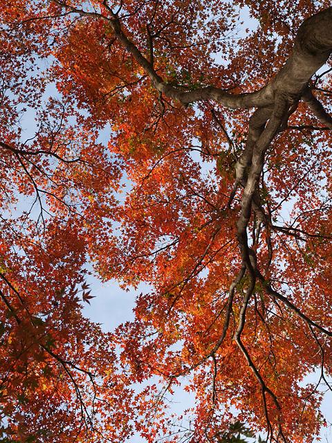 昭和記念公園の紅葉 (11/21)_b0006870_9263791.jpg