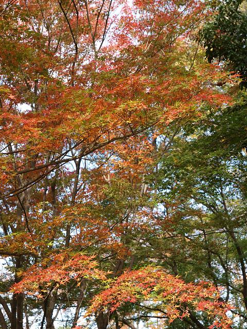 昭和記念公園の紅葉 (11/21)_b0006870_9265419.jpg