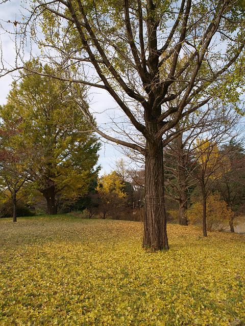 昭和記念公園の紅葉 (11/21)_b0006870_9271563.jpg