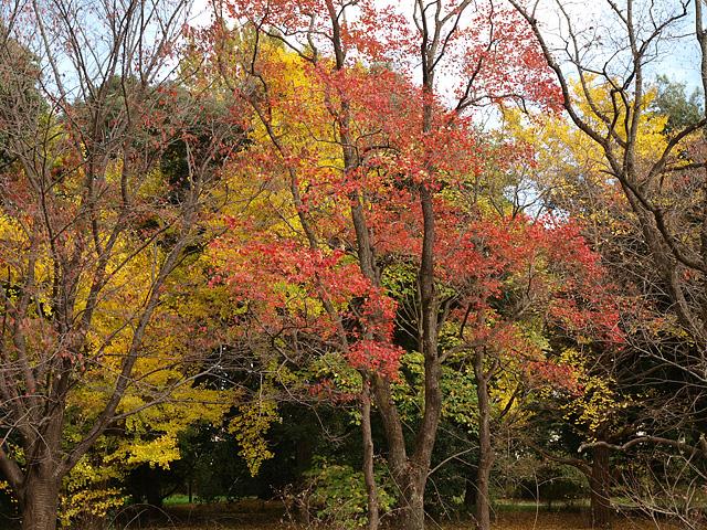 昭和記念公園の紅葉 (11/21)_b0006870_92735100.jpg