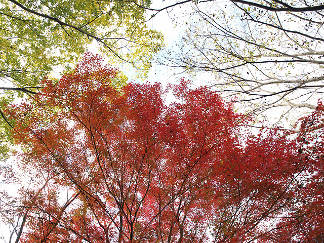 昭和記念公園の紅葉 (11/21)_b0006870_9292548.jpg