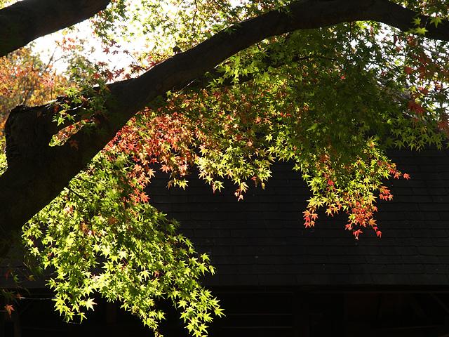 昭和記念公園の紅葉 (11/21)_b0006870_9294570.jpg