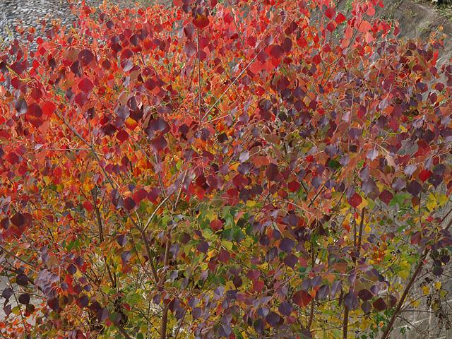 昭和記念公園の紅葉 (11/21)_b0006870_9301779.jpg