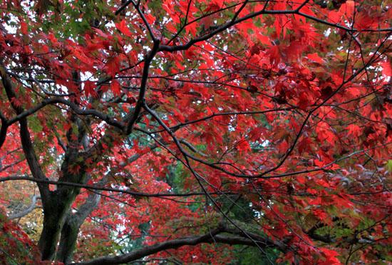 紅葉だより32 栄摂院_e0048413_204542.jpg